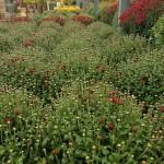 graff.gardens.&.Farm.fall.mum