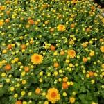 graff.gardens.&.Farm.fall.mum.yellow