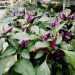 graff.gardens.&.Farm.fall.ornamental.pepper