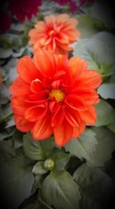 graff.gardens.orange.dahlia