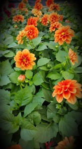 graff.gardens.orange.dahlia.tray