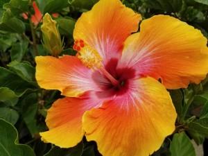graff.gardens.tropical.fiesta.hibiscus.2