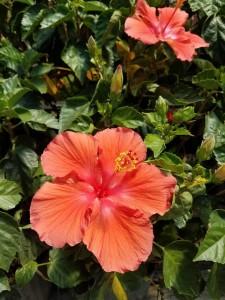 graff.gardens.tropical.hibiscus.peach
