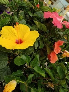 graff.gardens.tropical.tricolor.hibiscus