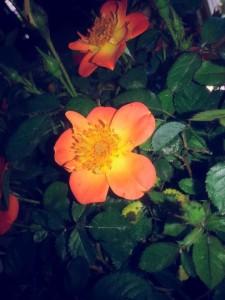 paprika.rose.graff.gardens