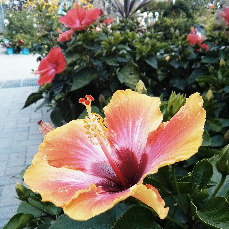 Hibiscus Care: Graff Gardens, Worth, IL