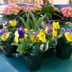 spring-hydrangea-pansy-graff-gardens