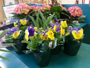 Pansies & Florist Hydrangea