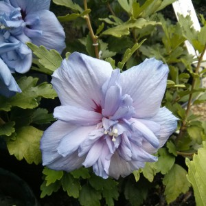 Althea Blue Chiffon