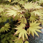 Japanese Maple August Moon