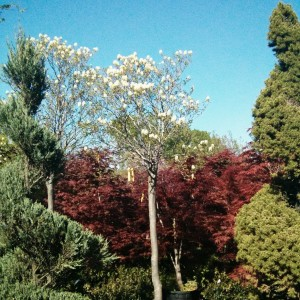 Fothergilla Blue Mist Tree