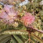 Mimosa Hardy