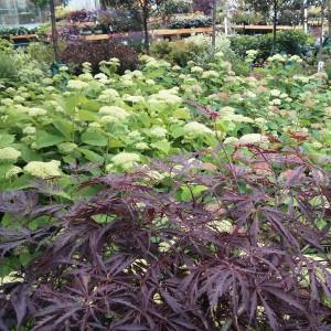 Japanese Maple & Annabelle Hydrangea