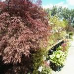 Japanese Maple & Perennials