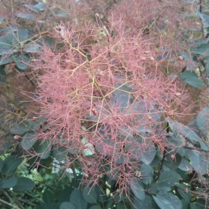 Smokebush Royal Purple Tree