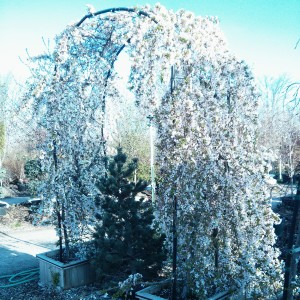Weeping Cherry Arbor
