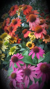 graff.garden.coneflower.multi