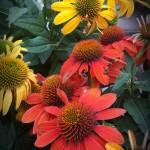 graff.gardens.coneflower
