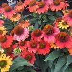 graff.gardens.coneflower.cheyenne.spirit