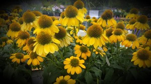 graff.gardens.coneflower.yellow