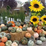 graff,gardens,&,Farm,Fall,speciality,Pumpkins