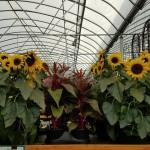 graff.gardens.fall.sunflower