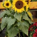 graff.gardens.sunflower