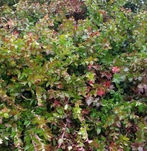 graff.garden.berried.huckleberry