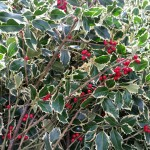 graff.garden.berried.varigated.holly