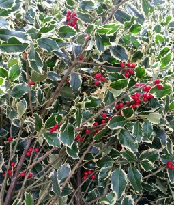 graff.garden.berried.varigated.holly