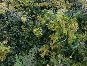 graff.garden.boxwood