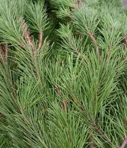 graff.garden.shore.pine