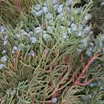 graff.gardens.berried.blue.juniper